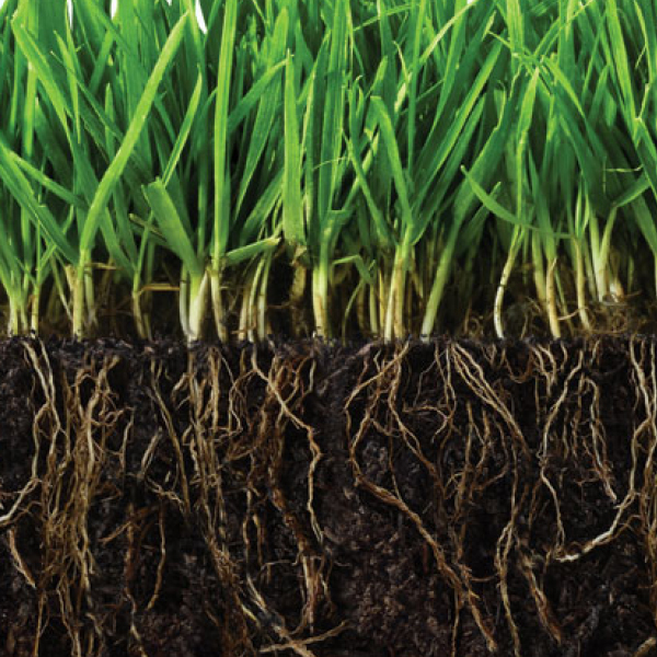 Microscopic image  grass roots being planted deep into the Soil