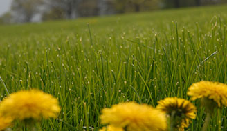Kill or prevent Dandelion Weeds Growing in your lawn