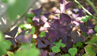 Oxalis invading lawn