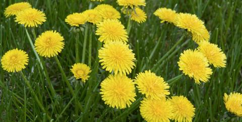 Dandelion flowers growing on a lawn.