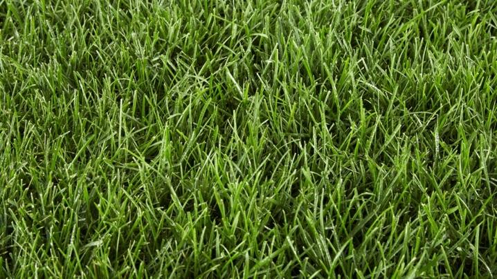 Type of Grass: Ryegrass