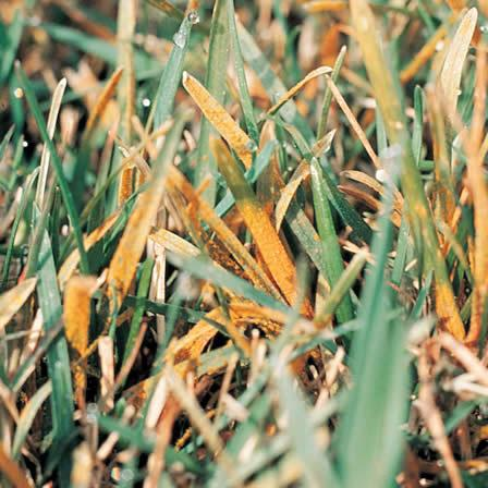 Find Out How To Identify Rust Disease In Your Lawn Control It