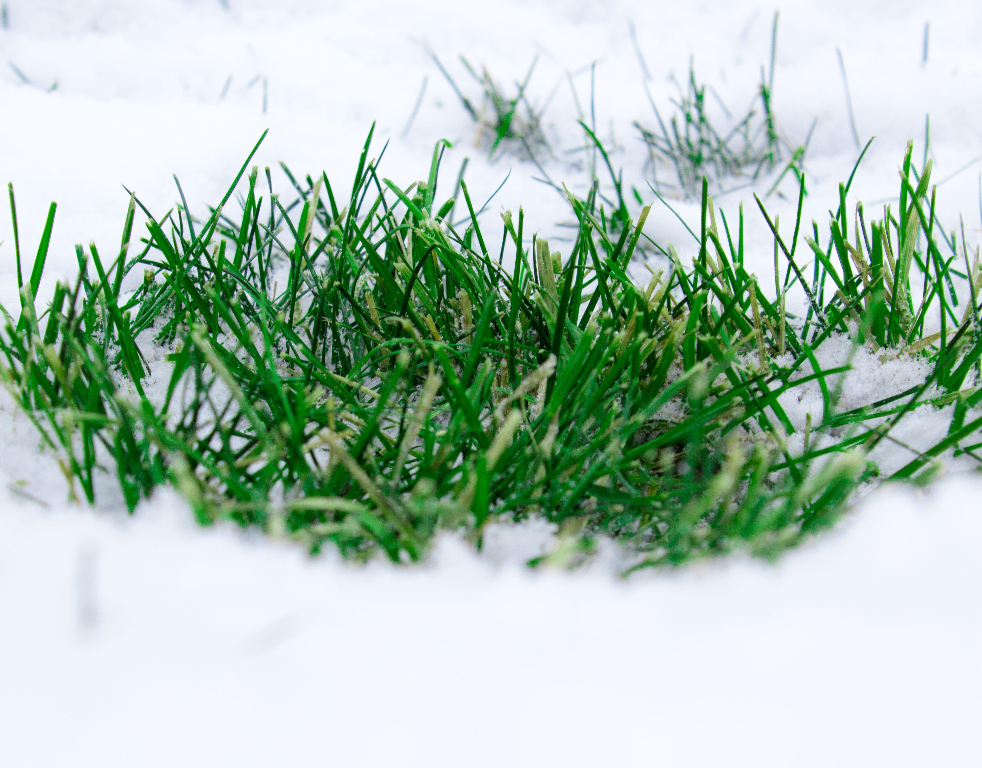 Green grass popping out of snow