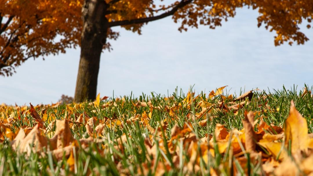 Leaf Mulching: fall leaves