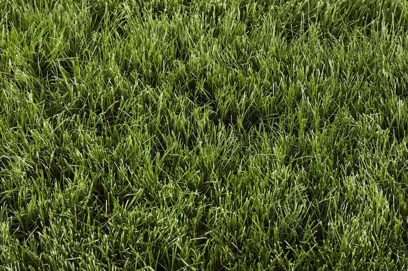 Type of Grass: Fine Fescue