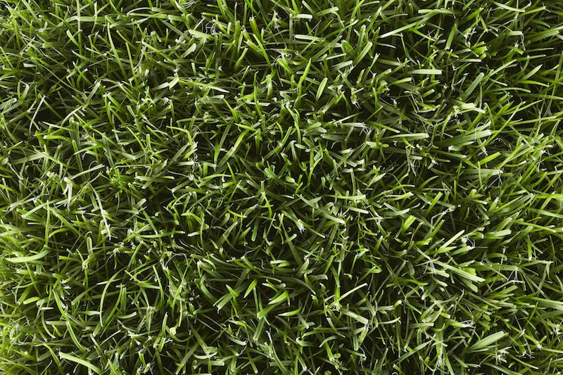 Type of Grass: Kentucky Bluegrass