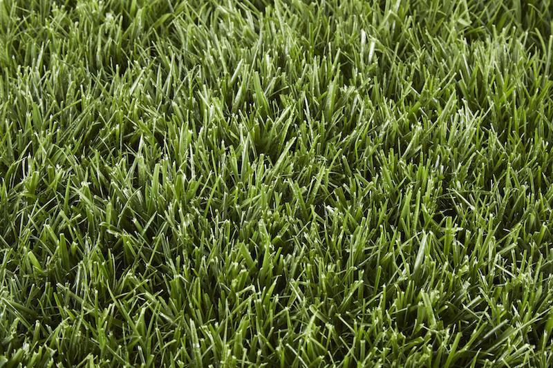 Type of Grass: Tall Fescue