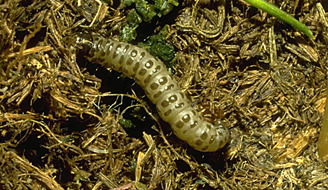 Cutworms are a threat to your lawn.  Picture of cutworm in person's hand.