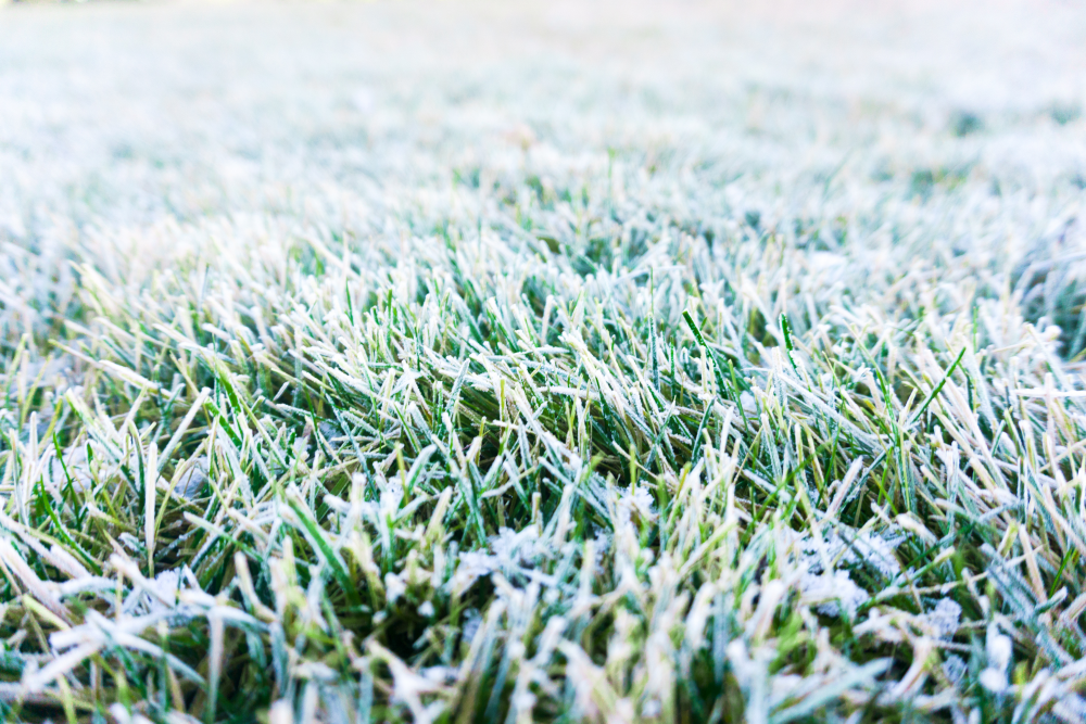 Frost covered green lawn.