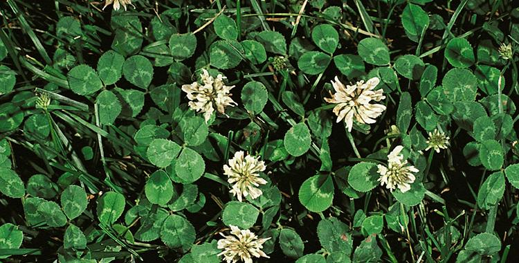 Guide to 7 common lawn weeds scotts white clover mightylinksfo