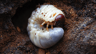 Grub worm sitting in dirt.