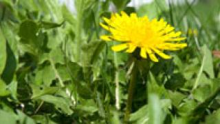 Single Dandelion in Bunch of Weeds