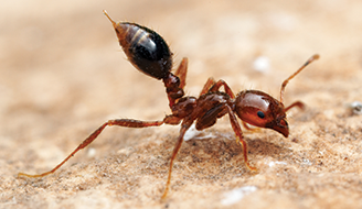 Fire Ant on Ground - How to Control Fire Ants
