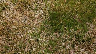 How to Identify Lawn Diseases: snow mold