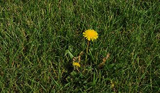 A lawn with dandelions.