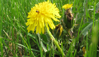 Best Ways to Grow Newly Planted Grass - Dandelion in Grass