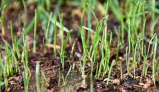 Grass growing out of a muddy area of a lawn.