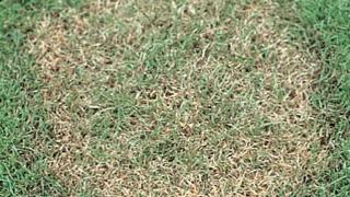 How to Identify Lawn Diseases: brown patch