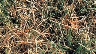 How to Identify Lawn Diseases: red thread