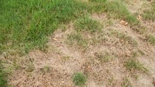 Brown Spots in the Lawn: brown patches