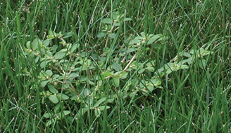 picture of spotted spurge in the lawn
