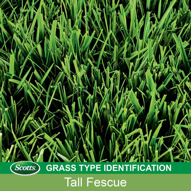 How to Identify Tall Fescue Grass