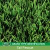 Identifying Tall Fescue